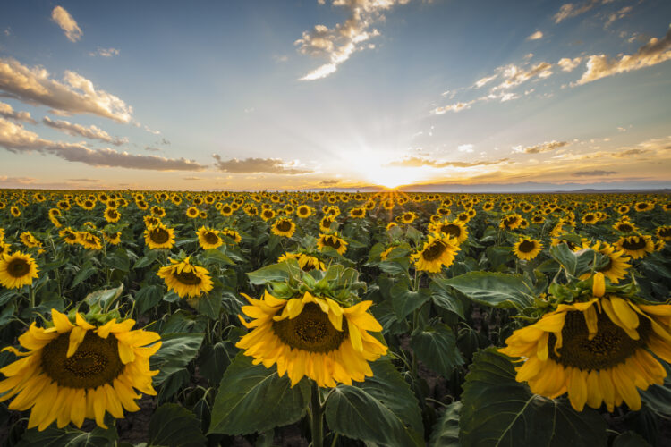 Sunflowers at sunset outside of Denver, Colorado. Fine Art Landscape Photography. Nature and landscape photo.